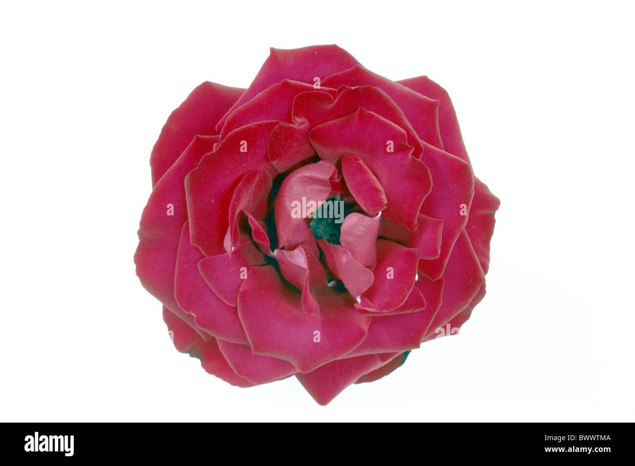 Large flowered climbing rose, Climbing Hybrid Tea (Rosa Grand Hotel), flower, studio picture. - Stock Image