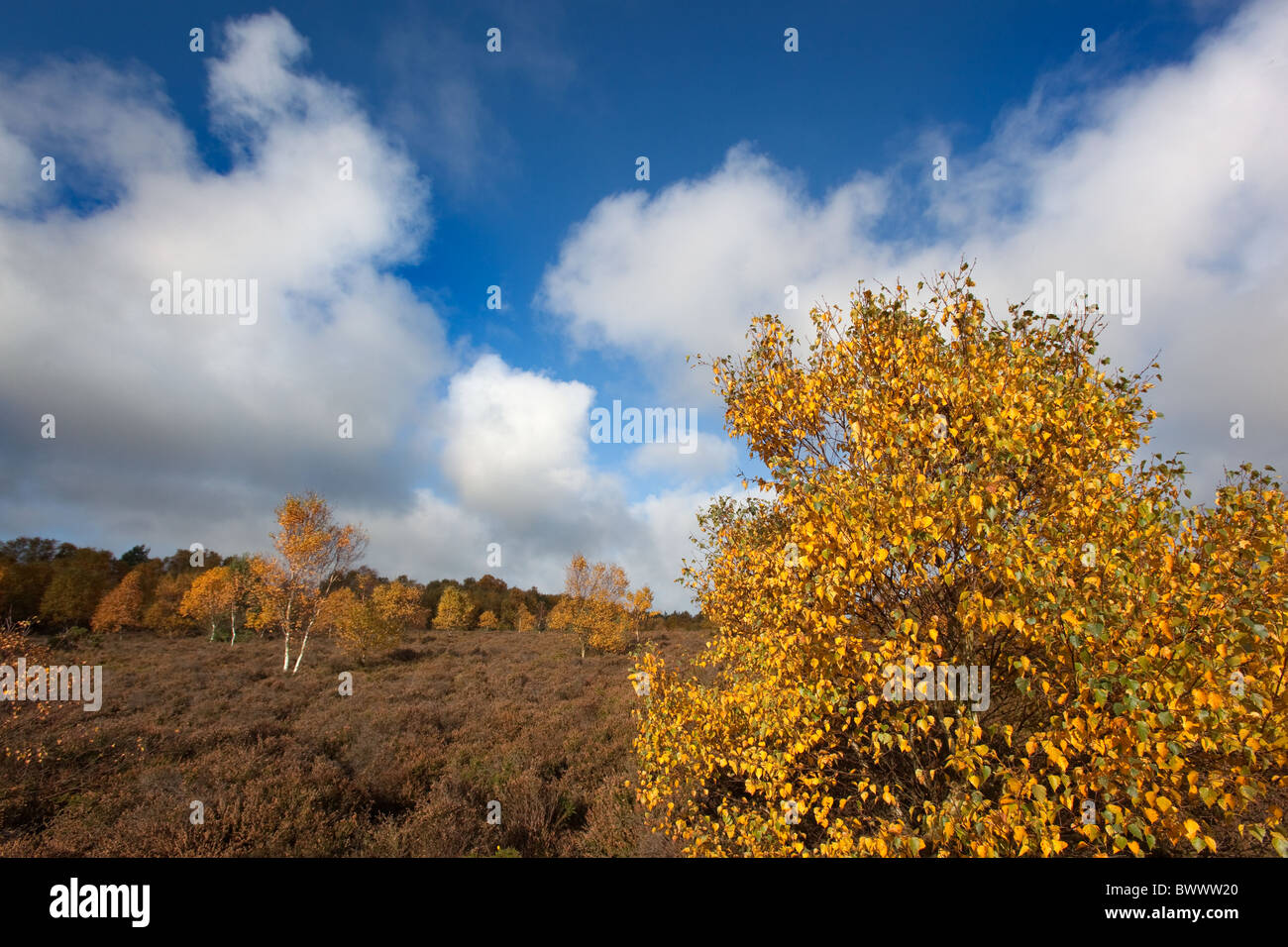 Silver Birches in full autumn colour on Kelling Heath Norfolk November Stock Photo