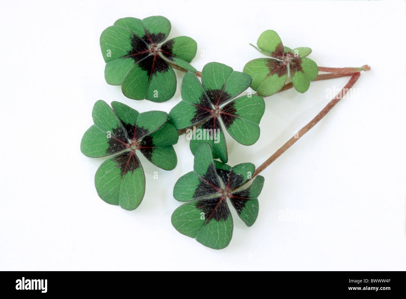 Good Luck Leaf, Lucky Clover (Oxalis tetraphylla), leaves, studio picture. - Stock Image