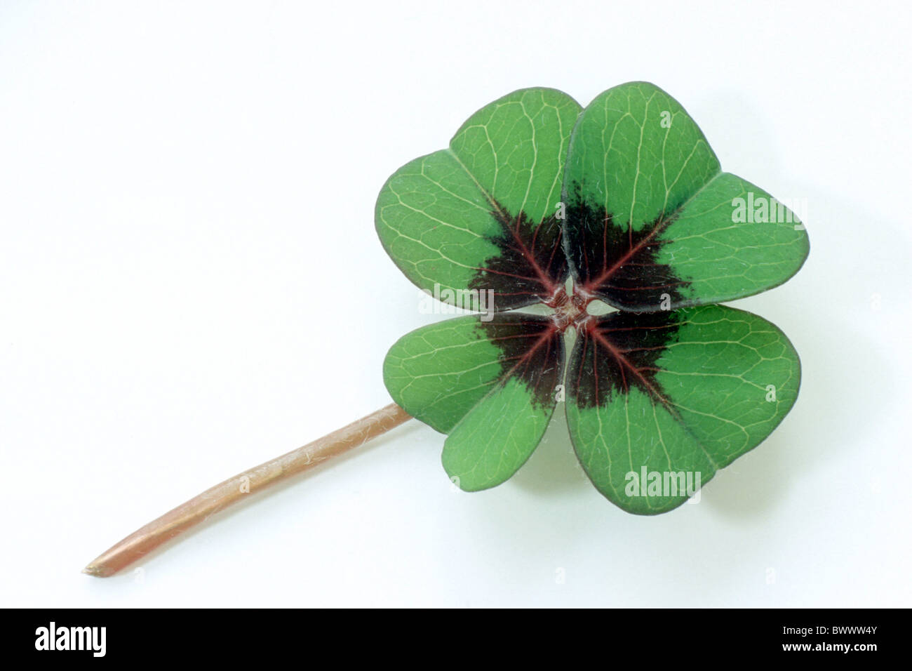 Good Luck Leaf, Lucky Clover (Oxalis tetraphylla), leaf, studio picture. - Stock Image
