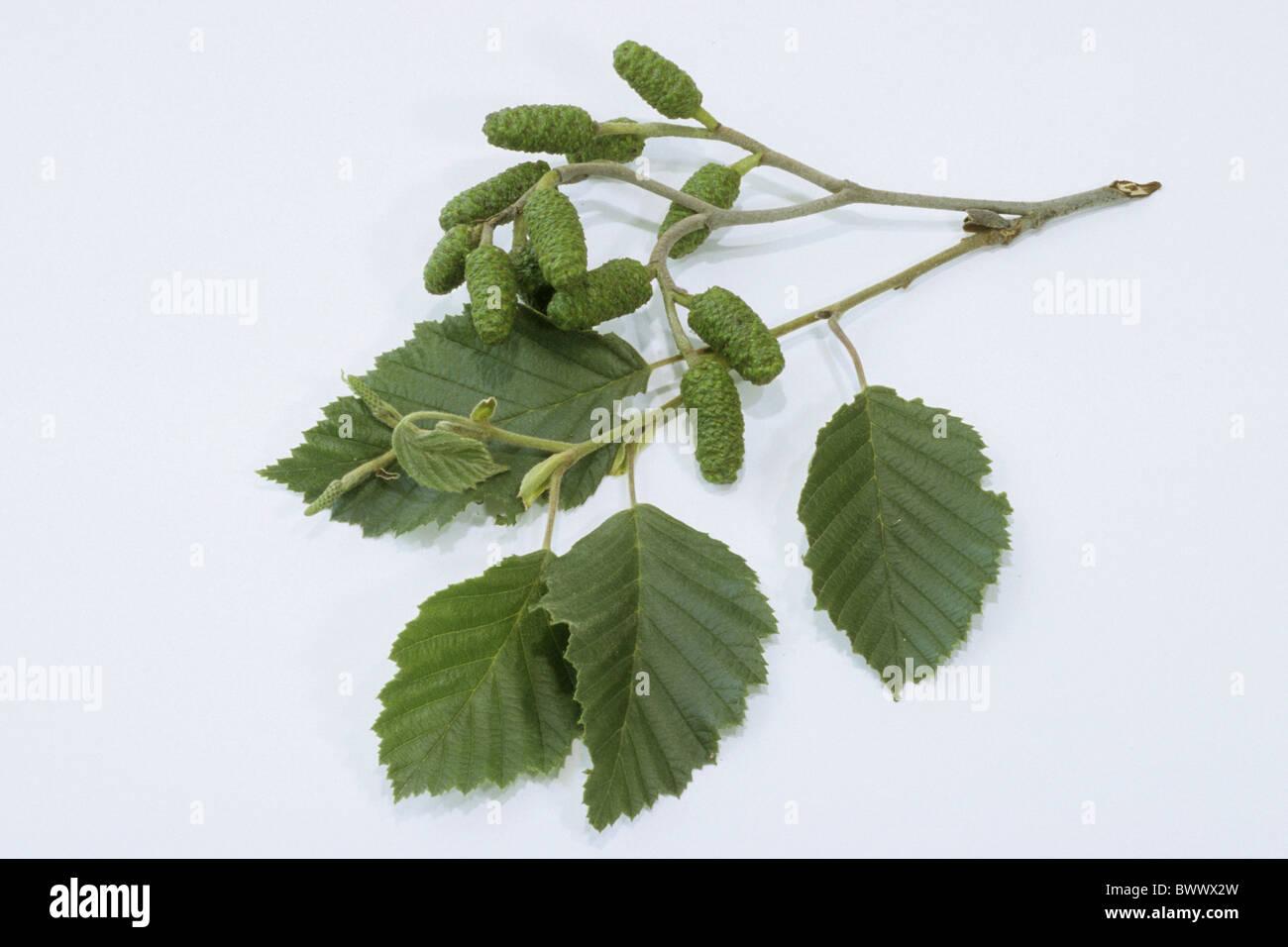 Grey Alder, Gray Alder (Alnus incana), twig with leaves and fruit, studio picture. - Stock Image