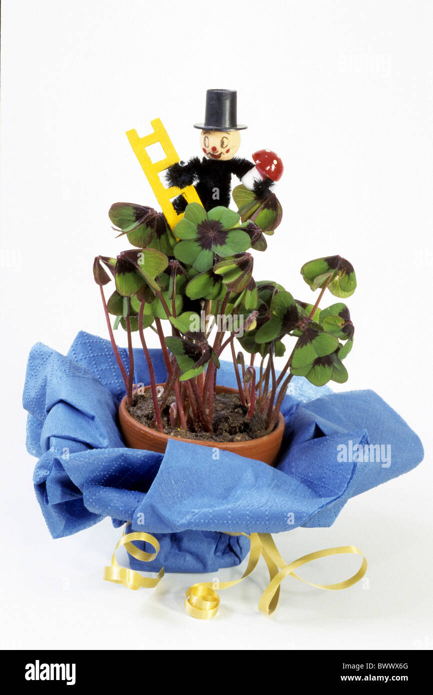 Good Luck Leaf, Lucky Clover, Four-leaved Clover, potted plant with chimney-sweep decoration, studio picture. Stock Photo