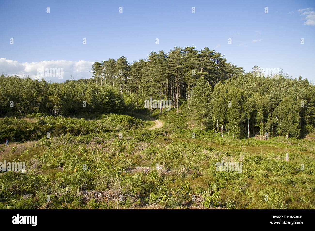 Commercial conifer plantation, recently cleared area in foreground to be managed as heather heathland, Puddletown - Stock Image