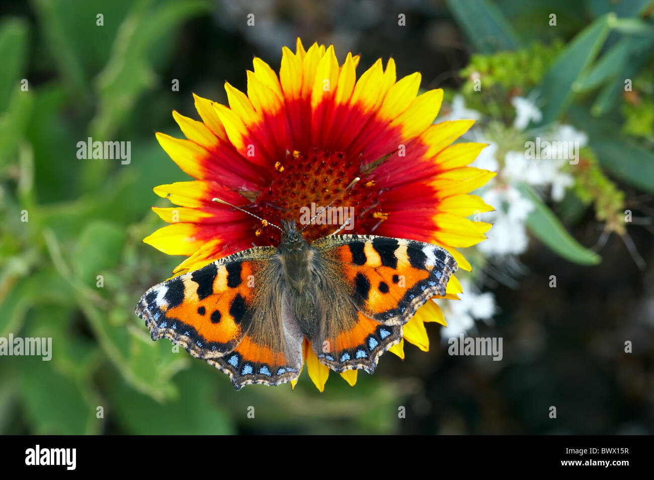 animal animals butterfly butterflies insect insects invertebrate invertebrates arthropod arthropods tortoiseshells - Stock Image