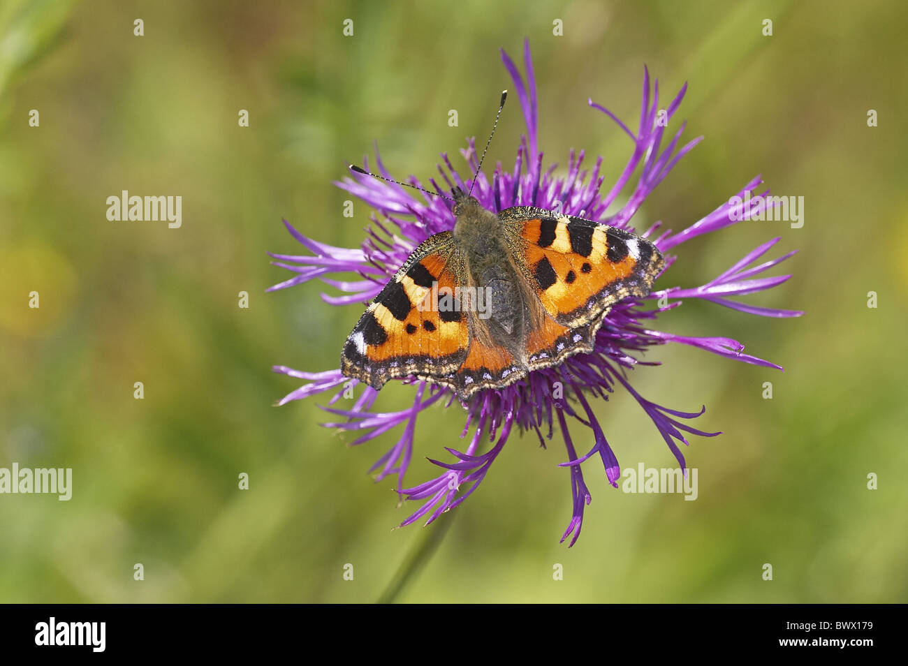 Small Totoiseshell Aglais urticae nectaring Greater Knapweed Centaurea scabiosa summer Gloucestershire wings colour - Stock Image