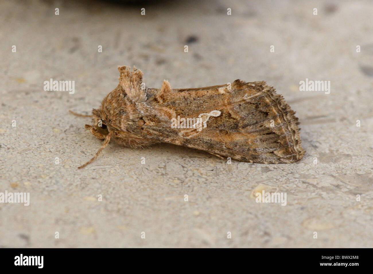 Cabbage Looper Moth (Trichoplusia ni) adult, form with joined white spots, resting, Sharm-El-Sheikh, Sinai Peninsula, - Stock Image