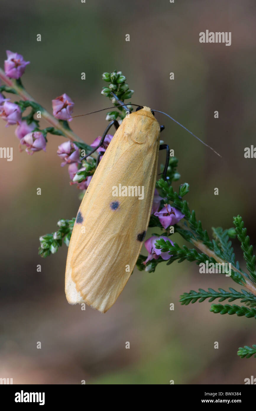 animal animals moth moths lepidoptera insect insects invertebrate invertebrates arthropod arthropods footman europe Stock Photo