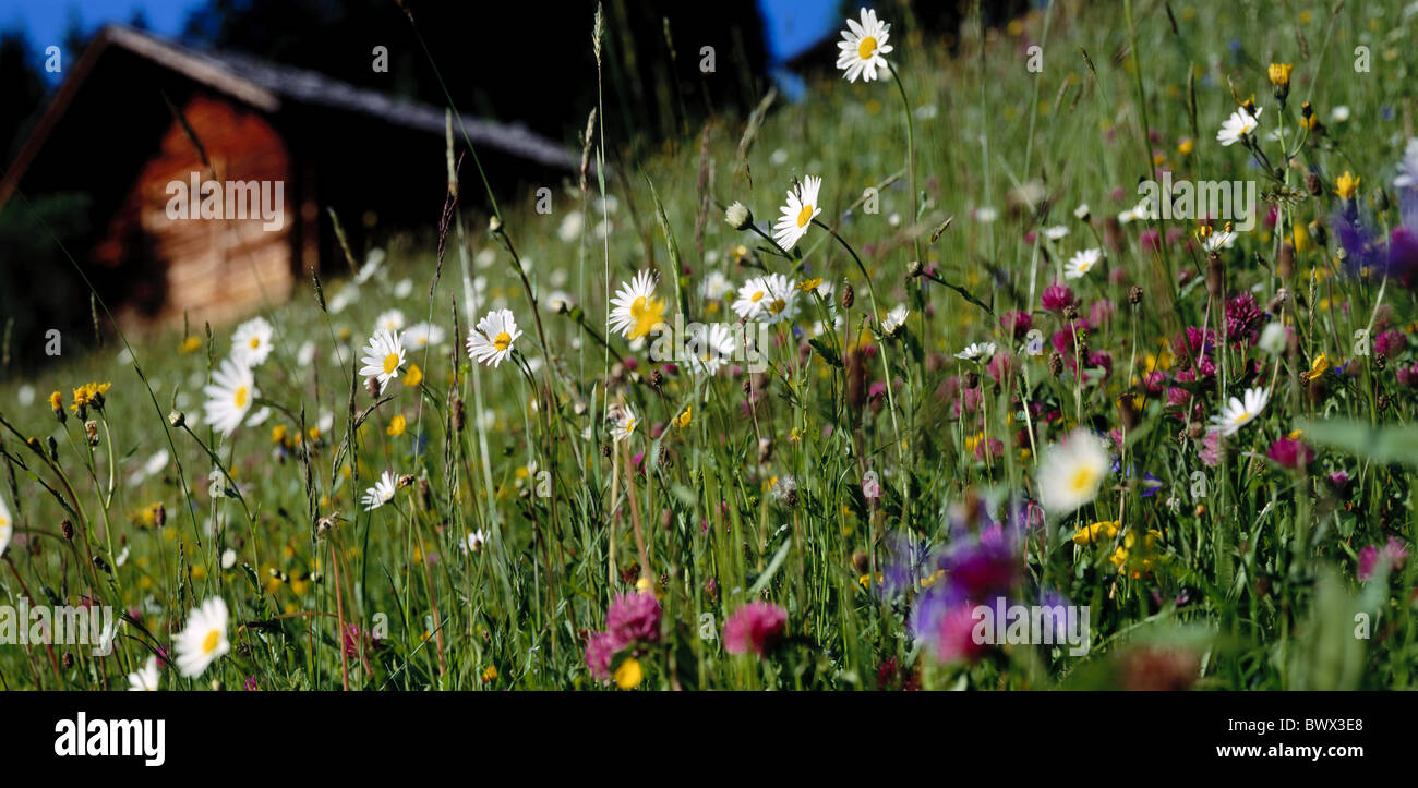 flowers background chalet marguerites summers meadow flowers - Stock Image