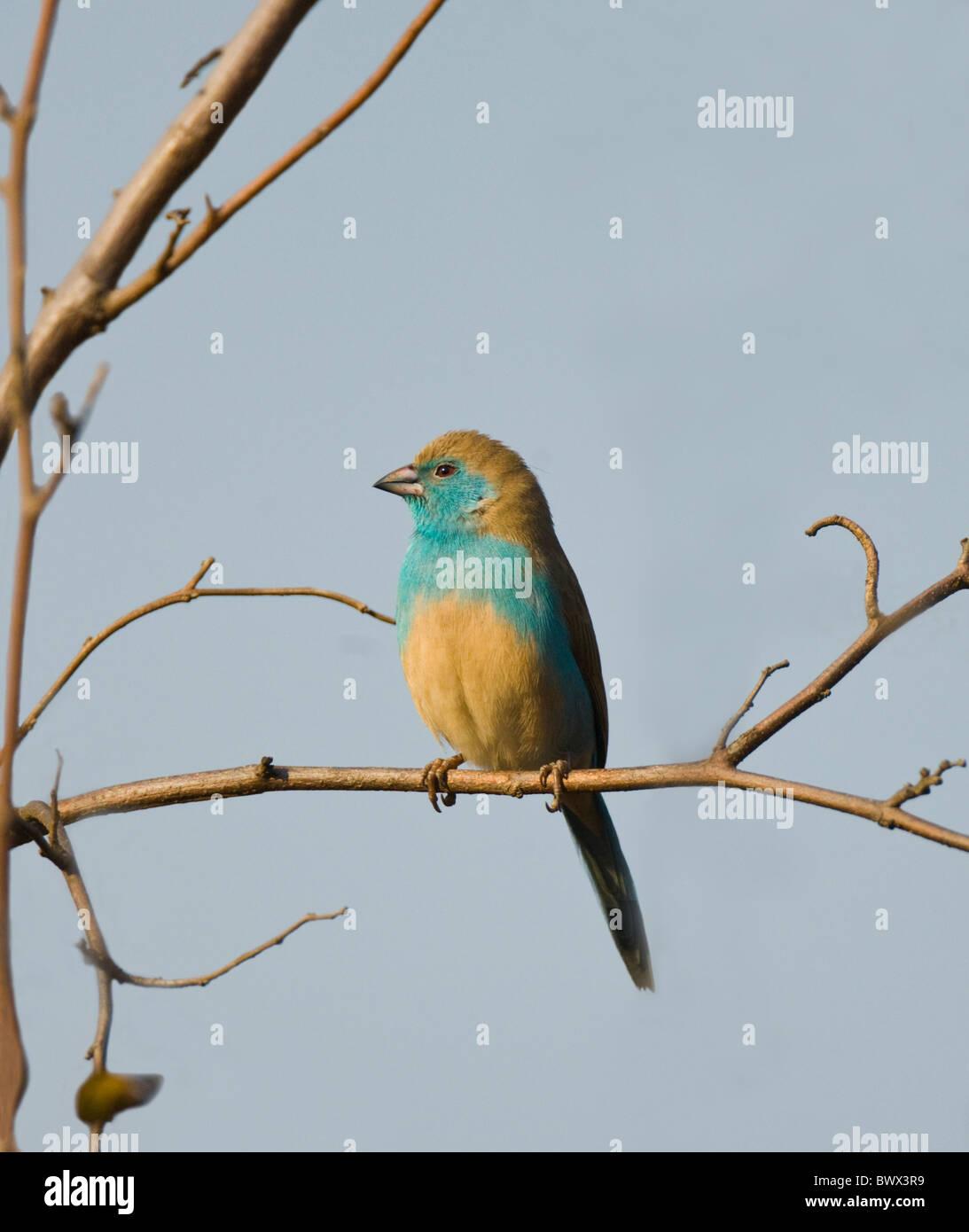 Blue Waxbill Uraeginthus angolensis Kruger National Park South Africa Stock Photo