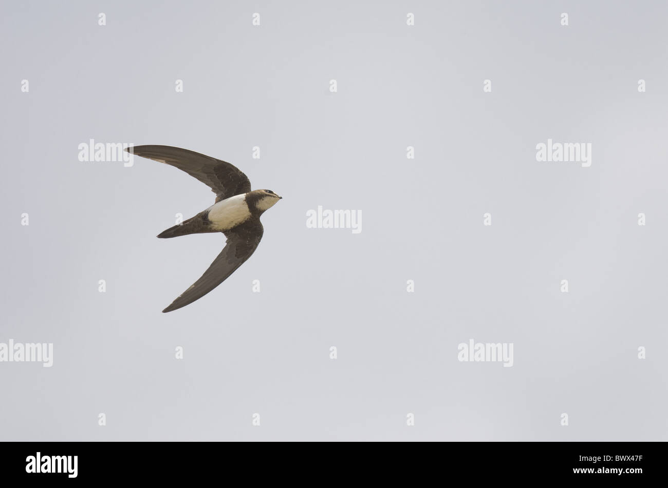 Alpine Swift (Apus melba) adult, in flight, on migration, Tarifa, Cadiz, Andalusia, Southern Spain, autumn Stock Photo