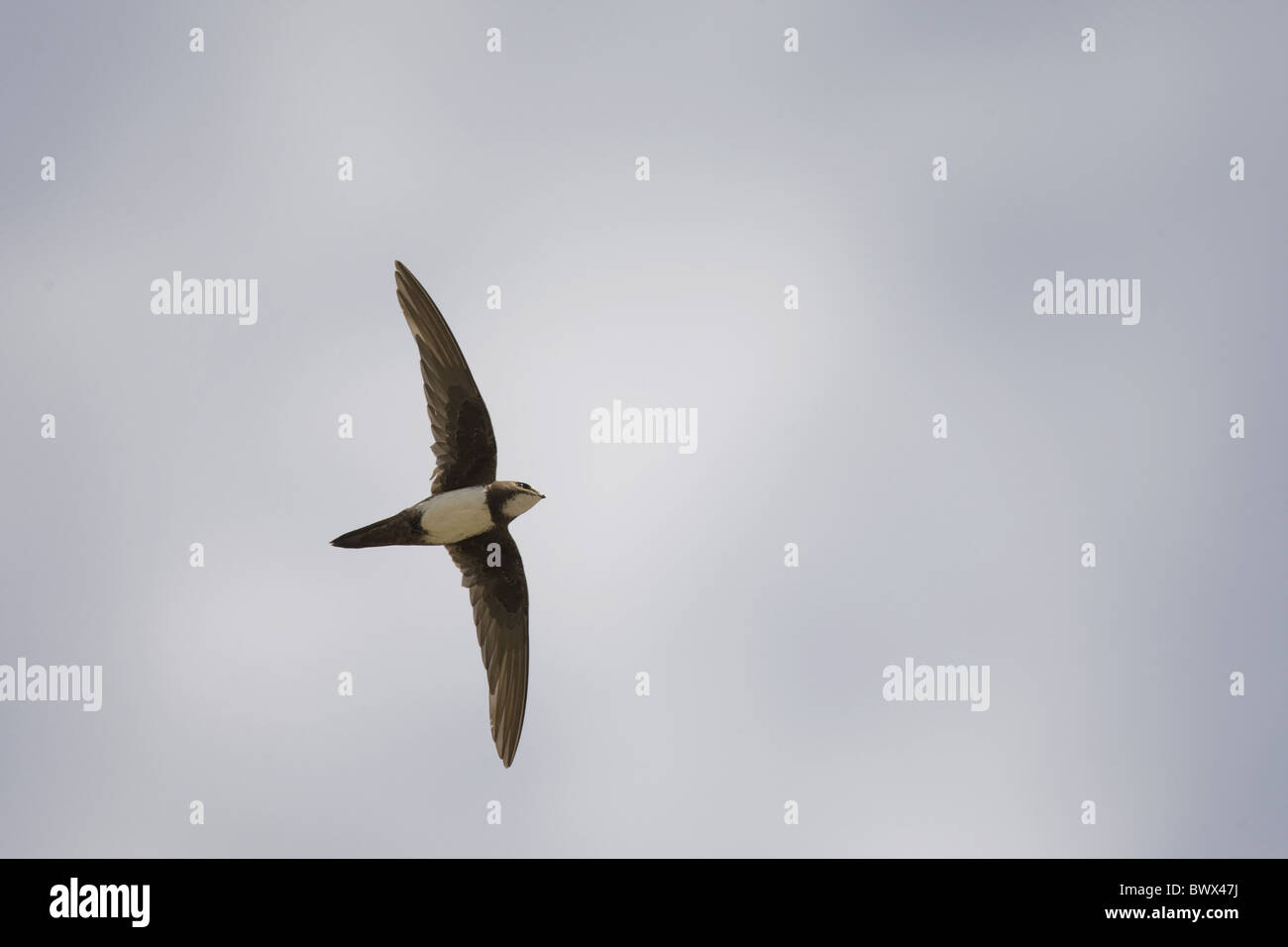 Alpine Swift (Apus melba) adult, in flight, on migration, Tarifa, Cadiz, Andalusia, Southern Spain, autumn Stock Photo