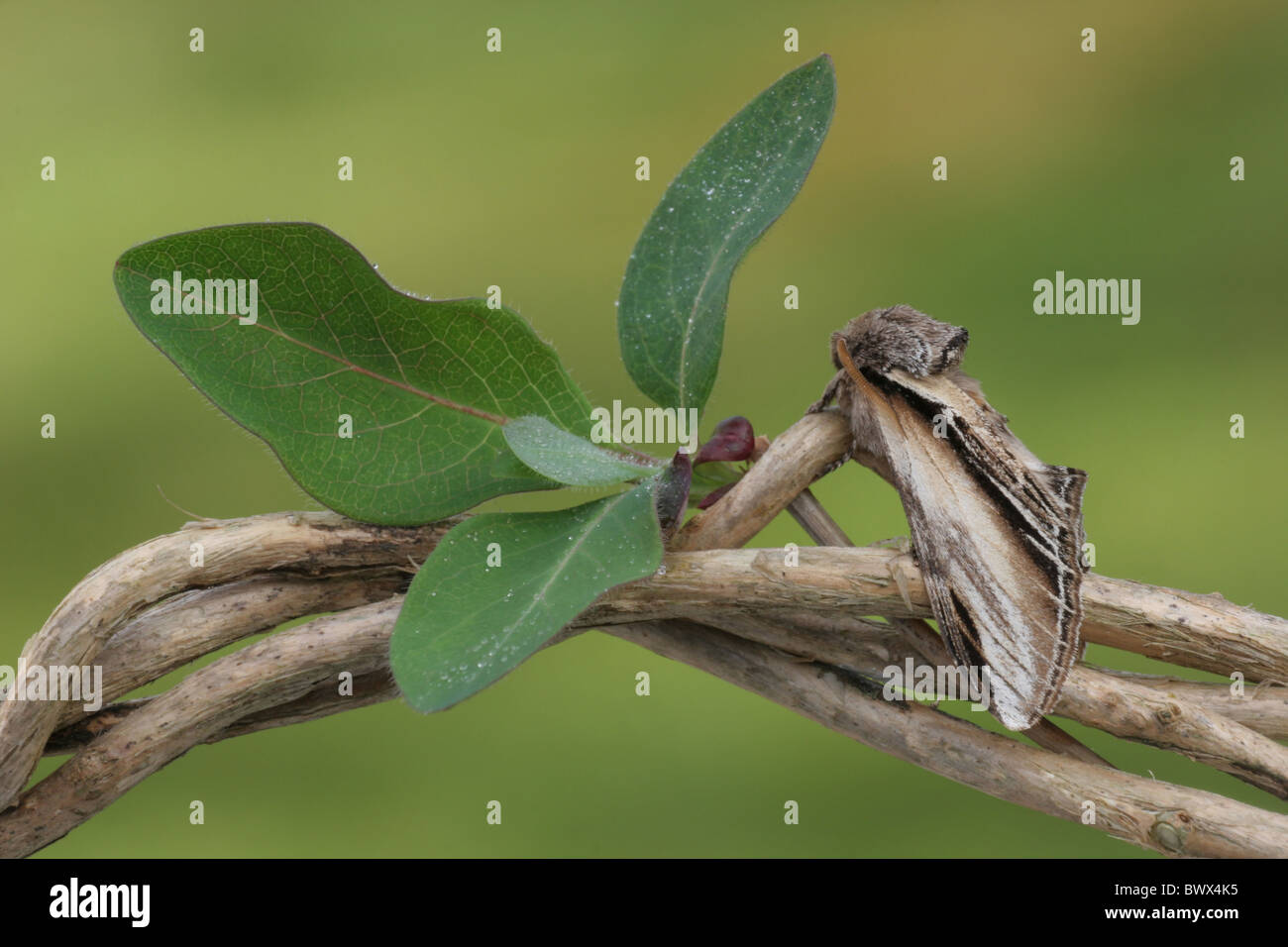 Swallow Prominent (Pheosia tremula) adult, resting on Honeysuckle (Lonicera periclymenum) stem, with raindrops on - Stock Image
