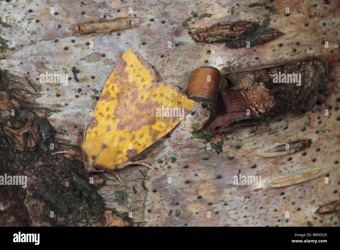 Pink-barred pink barred sallow Xanthia togata nature natural wild wildlife environment environmental europe european - Stock Image