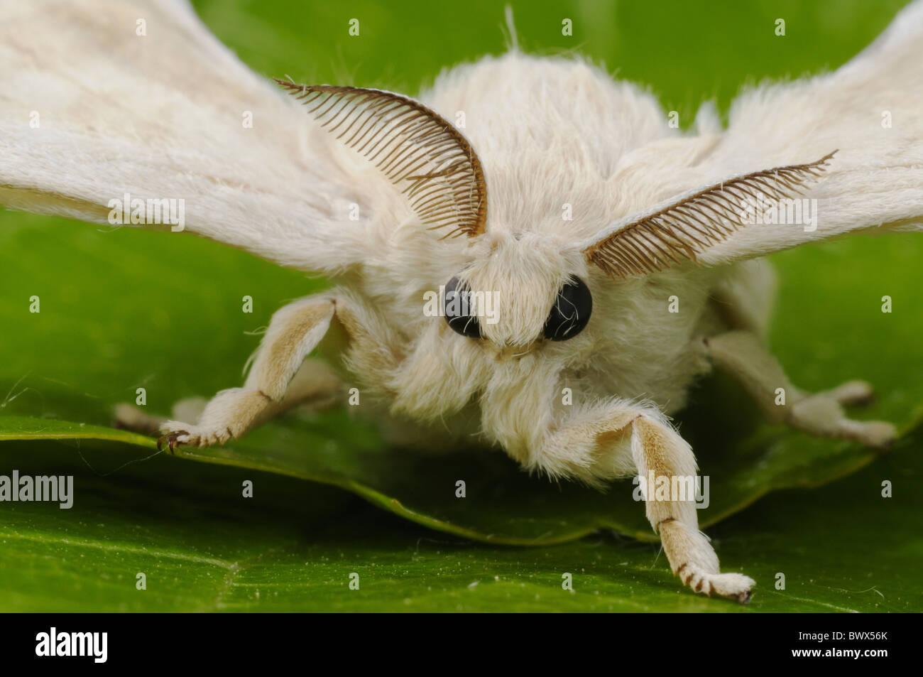 bombyx mori insects invertebrates animal animals moth moths stock