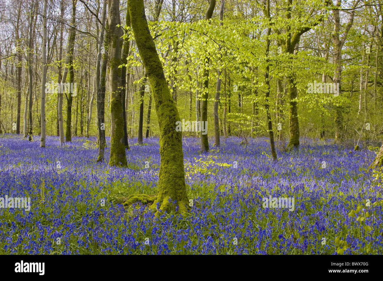 Beech Fagus Sylvatica Auld man's bell Bloom Blooms Blooming Blue Bluebell Bluebells Great Britain Britain British Colouful Stock Photo