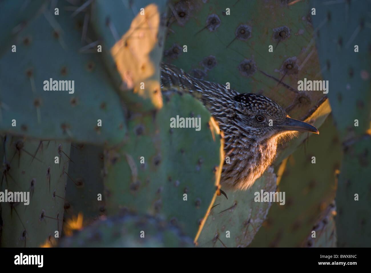 Greater Roadrunner (Geococcyx californianus) Arizona roosting for night - Stock Image