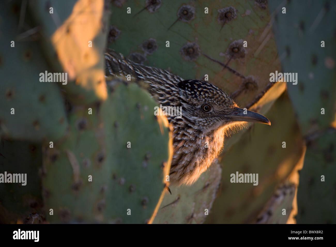 Greater Roadrunner (Geococcyx californianus) Arizona roosting in evening - Stock Image