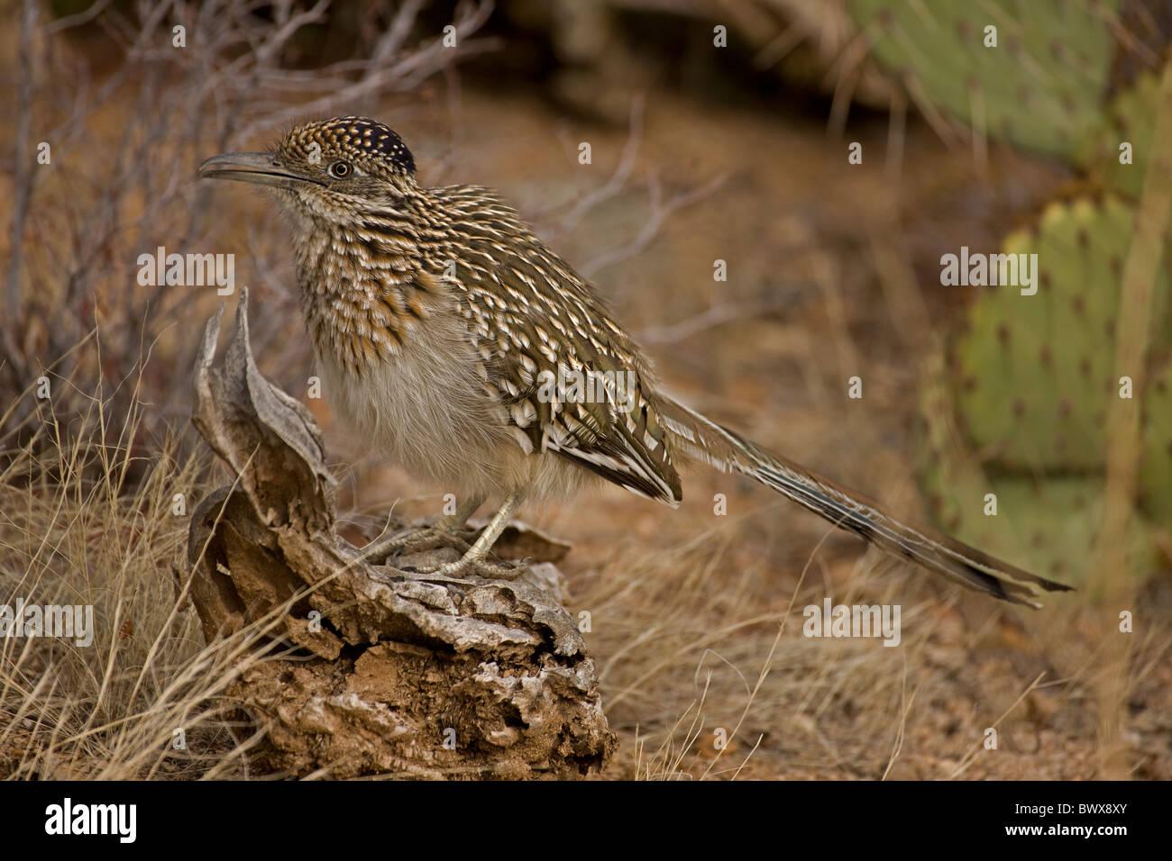 Greater Roadrunner (Geococcyx californianus) Arizona - Stock Image