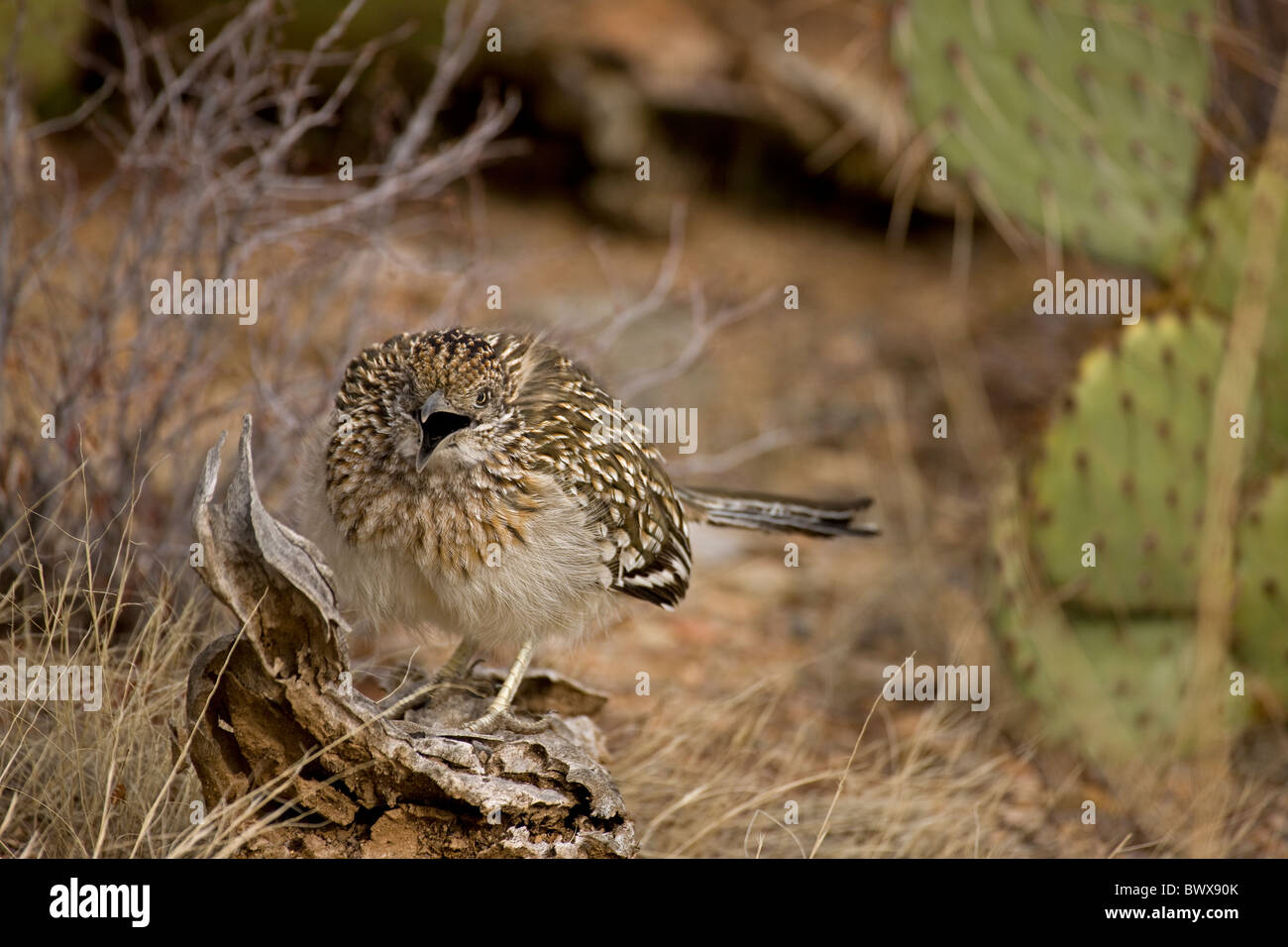 Greater Roadrunner (Geococcyx californianus) Arizona mouth open cooling itself Stock Photo