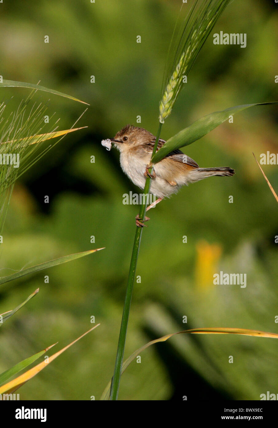 Fan-tailed Warbler (Cisticola juncidis cisticola) adult, with nesting material in beak, perched on stem, Morocco, - Stock Image
