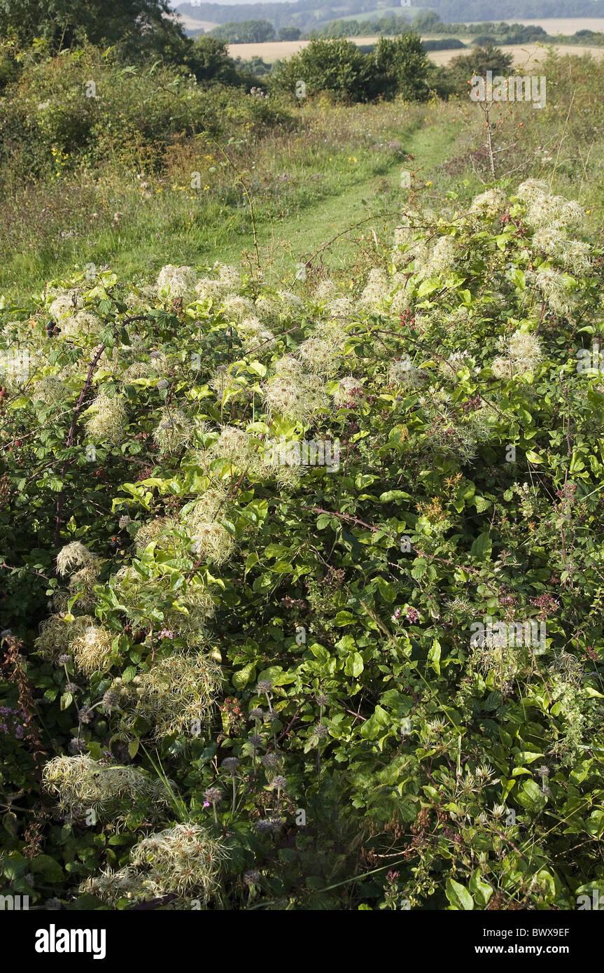 shrub shrubs plant plants europe european 'old man's beard' 'travellers joy' 'traveller's - Stock Image