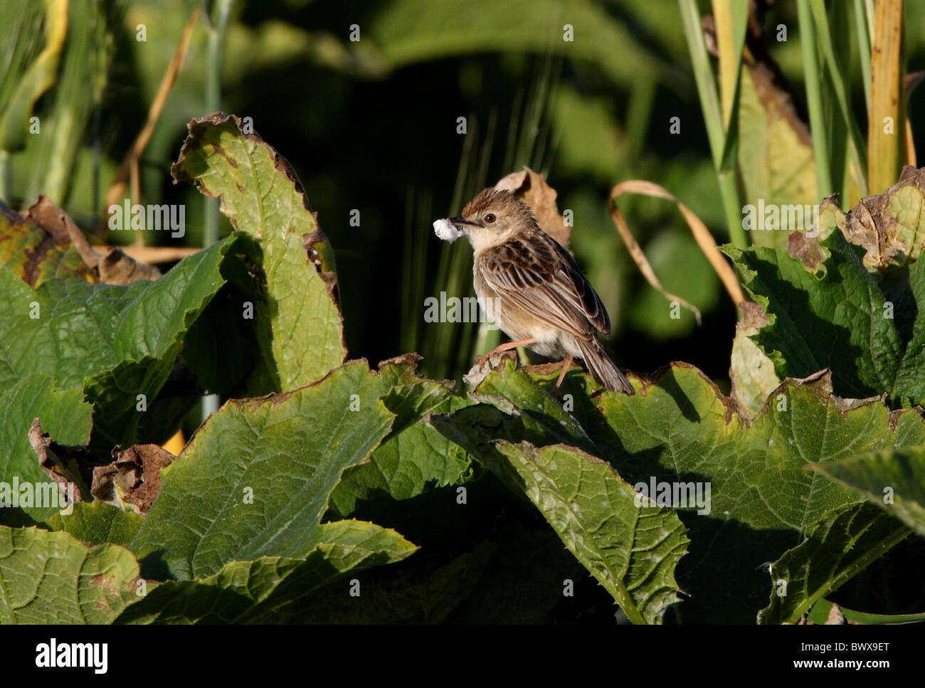 Fan-tailed Warbler (Cisticola juncidis cisticola) adult, with nesting material in beak, perched on leaf, Morocco, - Stock Image
