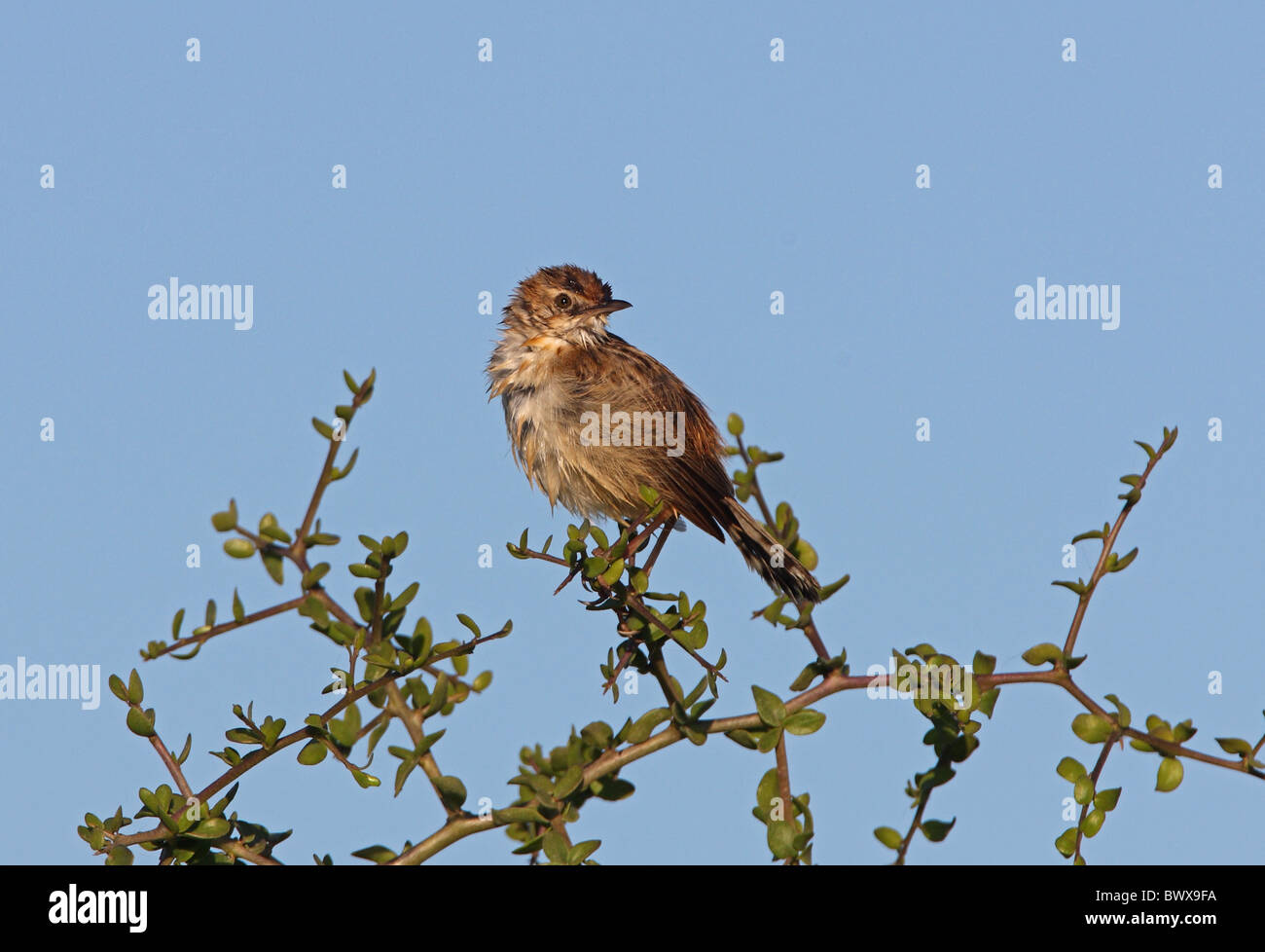 Fan-tailed Warbler (Cisticola juncidis cisticola) adult, wet after bathing, perched in bush, Morocco, may - Stock Image