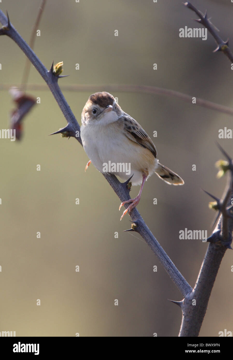 Fan-tailed Warbler (Cisticola juncidis tinnabulans) adult, perched on thorny twig, Beidaihe, Hebei, China, may - Stock Image