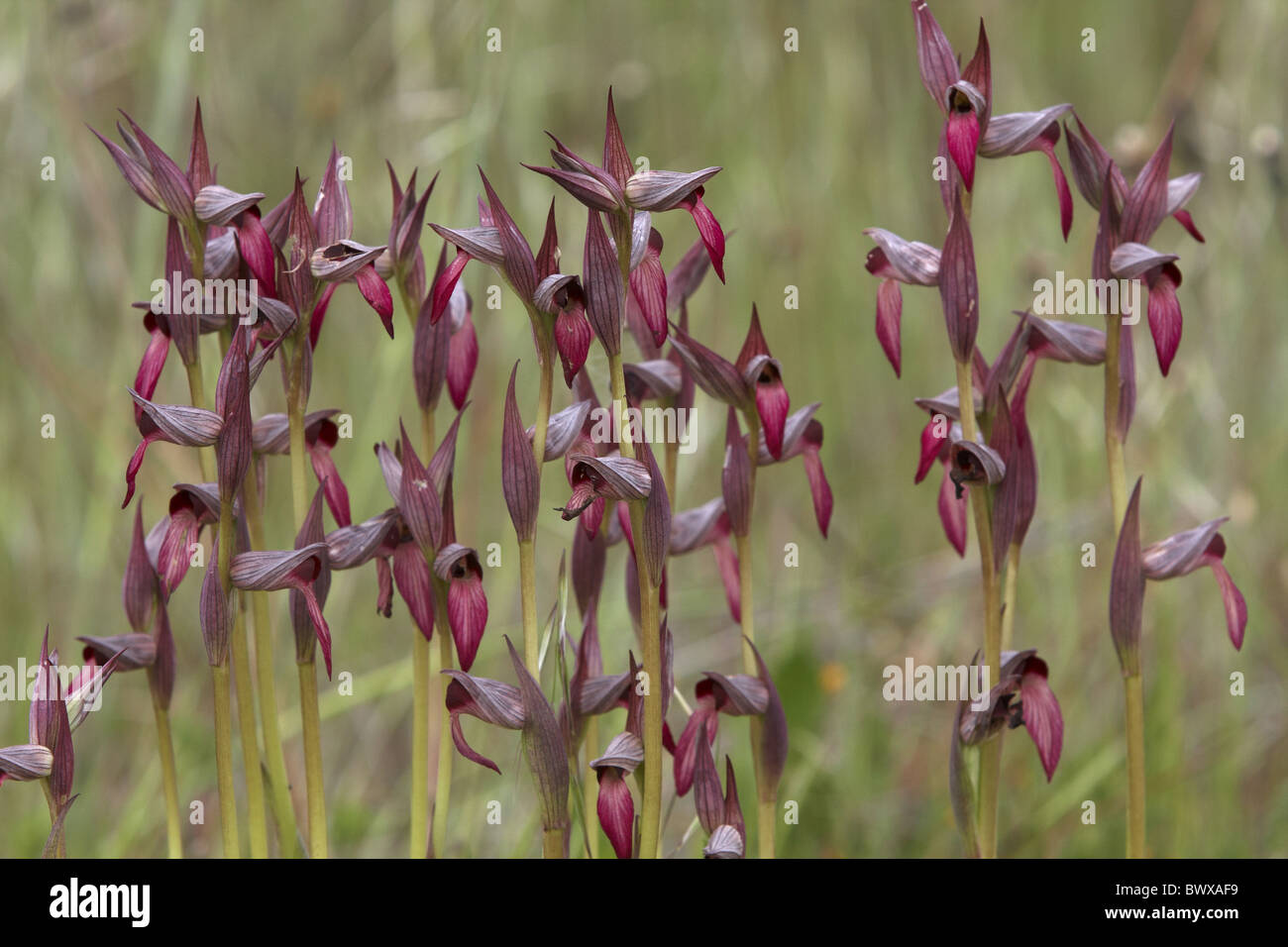 Tongue Orchid Serapias lingua flowering group - Stock Image