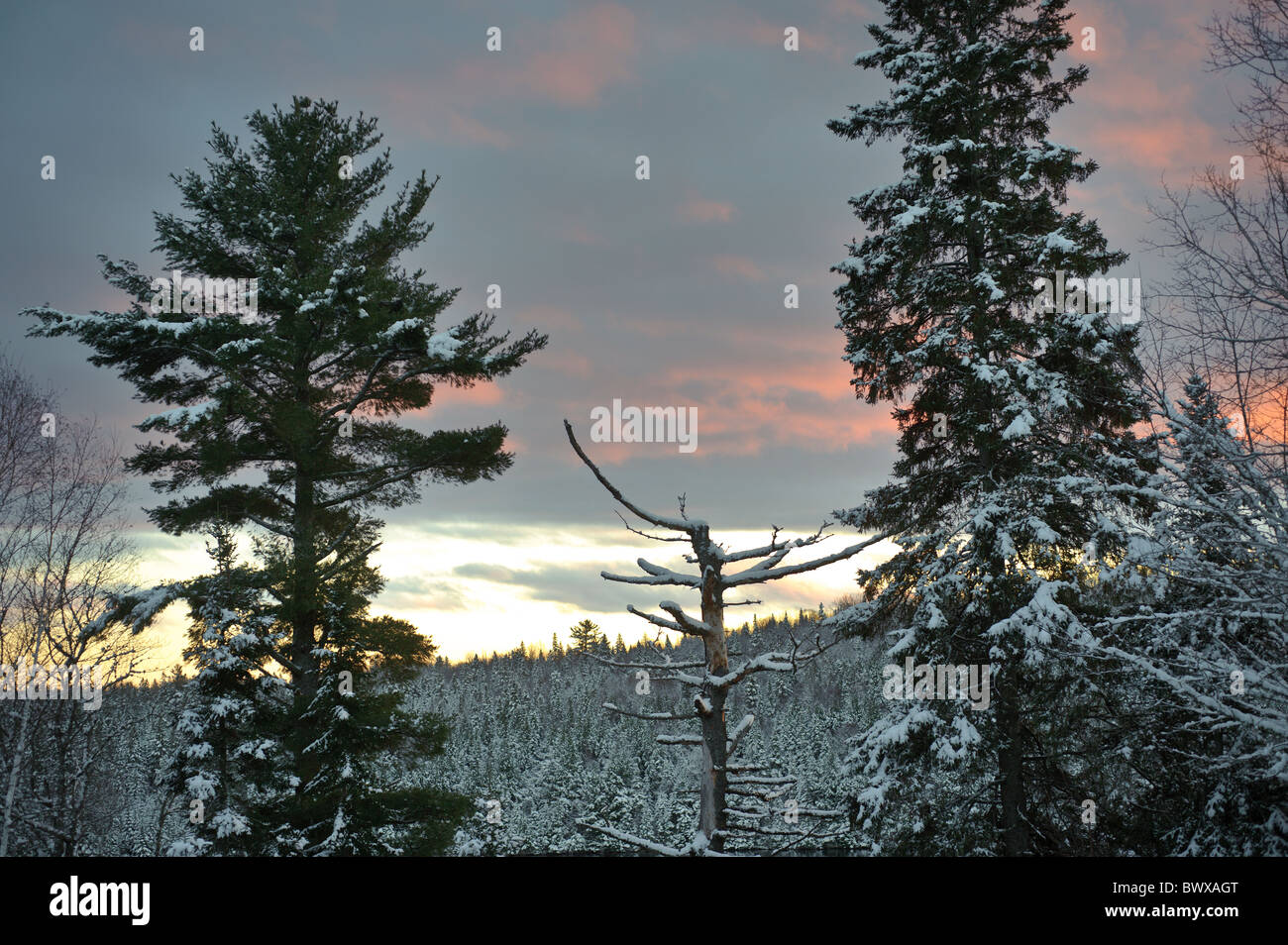 Pine and spruce tree sunset new brunswick with a light dusting of snow and a magenta sunset - Stock Image