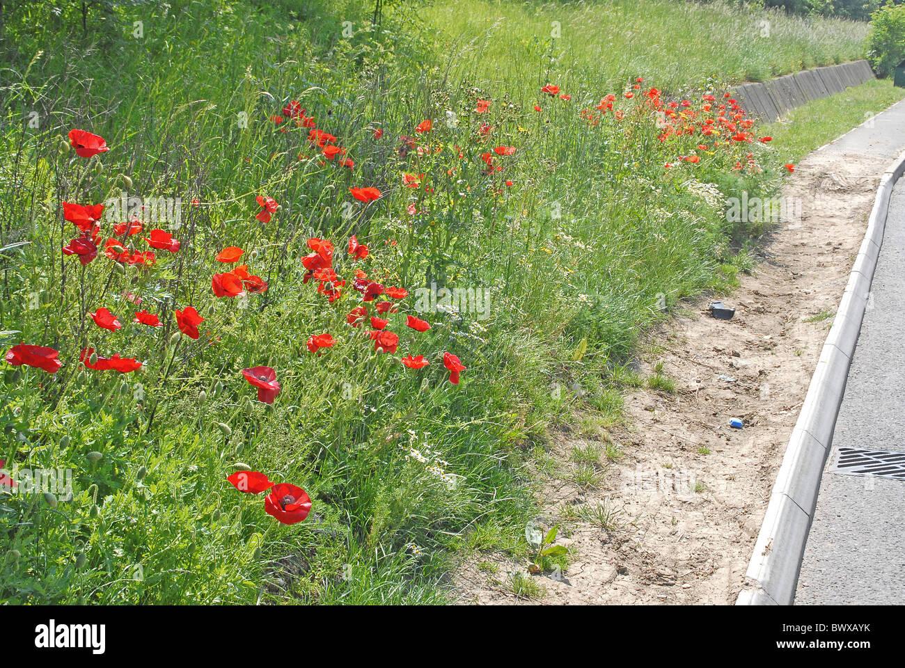 Flower Wild Poppy Denmark Common Stock Photos Flower Wild Poppy