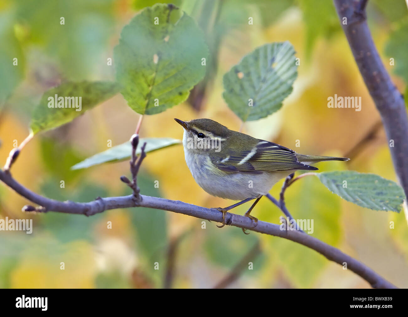Yellow-browed Warbler (Phylloscopus inornatus) adult, scarce autumn vagrant, perched on twig, Finland, september Stock Photo