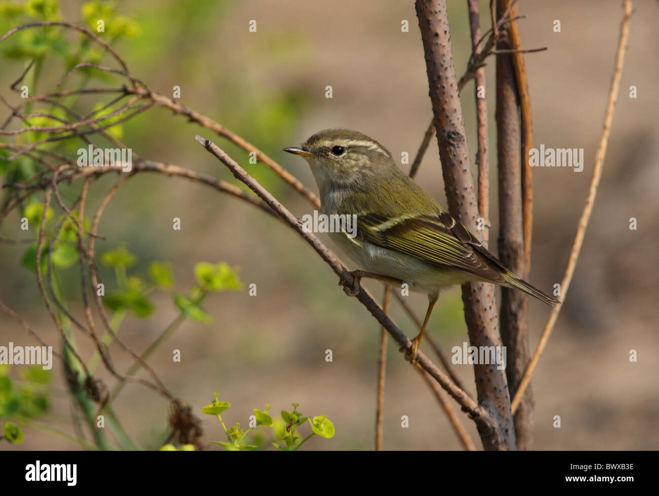 Yellow-browed Warbler (Phylloscopus inornatus) adult, perched on twig, Hebei, China, may Stock Photo