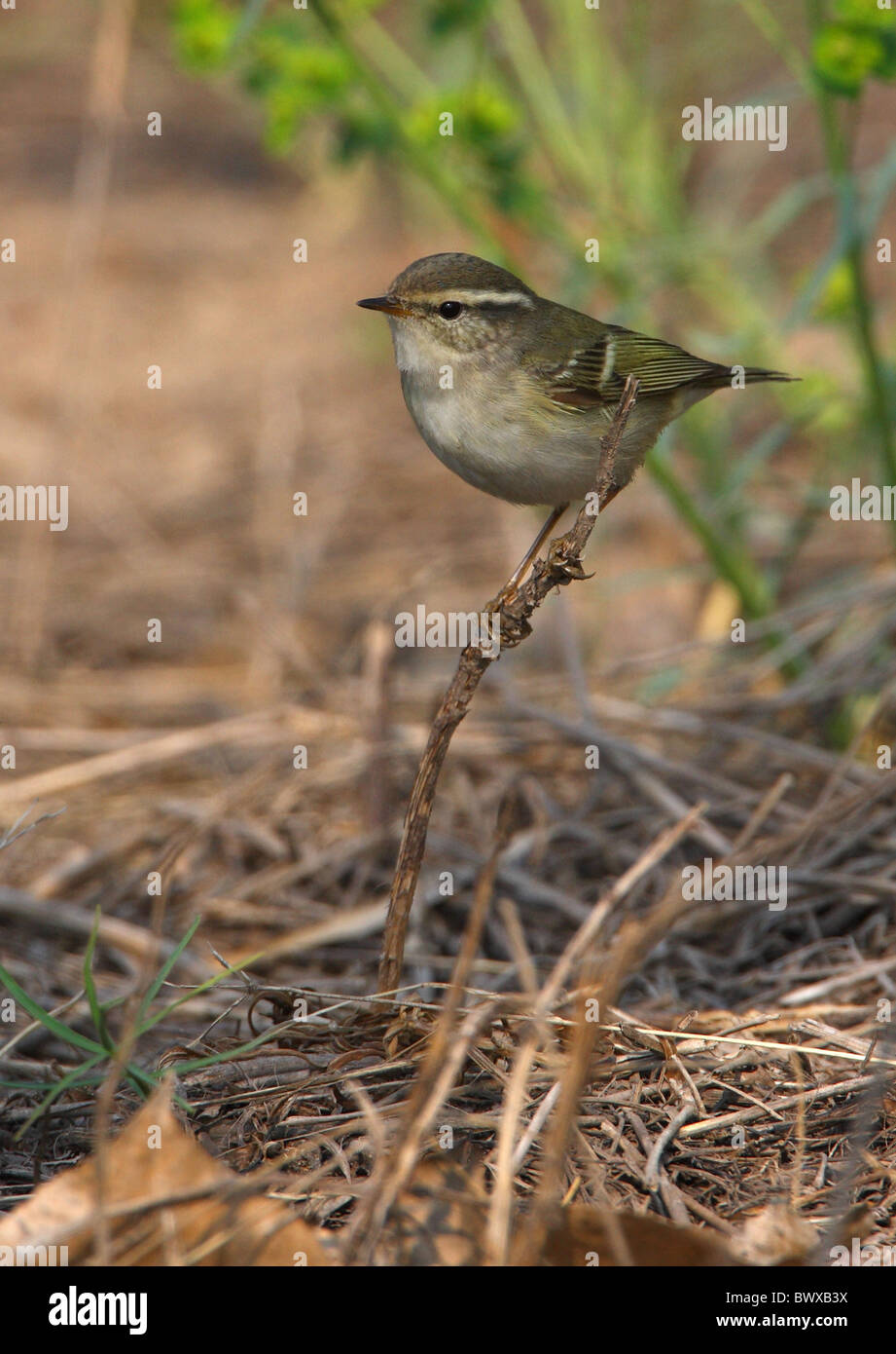 Yellow-browed Warbler (Phylloscopus inornatus) adult, perched on stick, Hebei, China, may Stock Photo