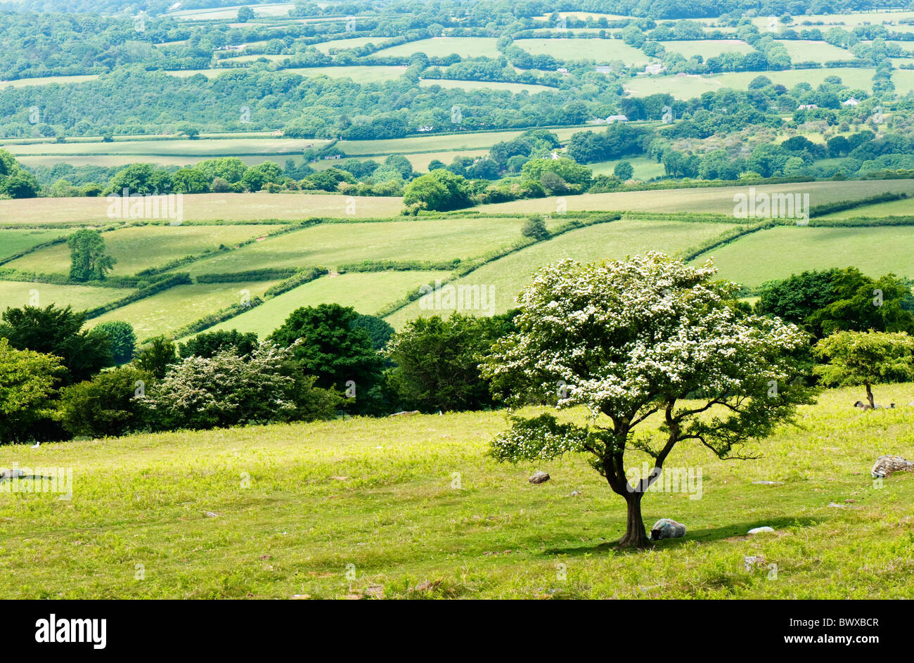 Hawthorn tree in blossom, Dartmoor, Devon UK - Stock Image
