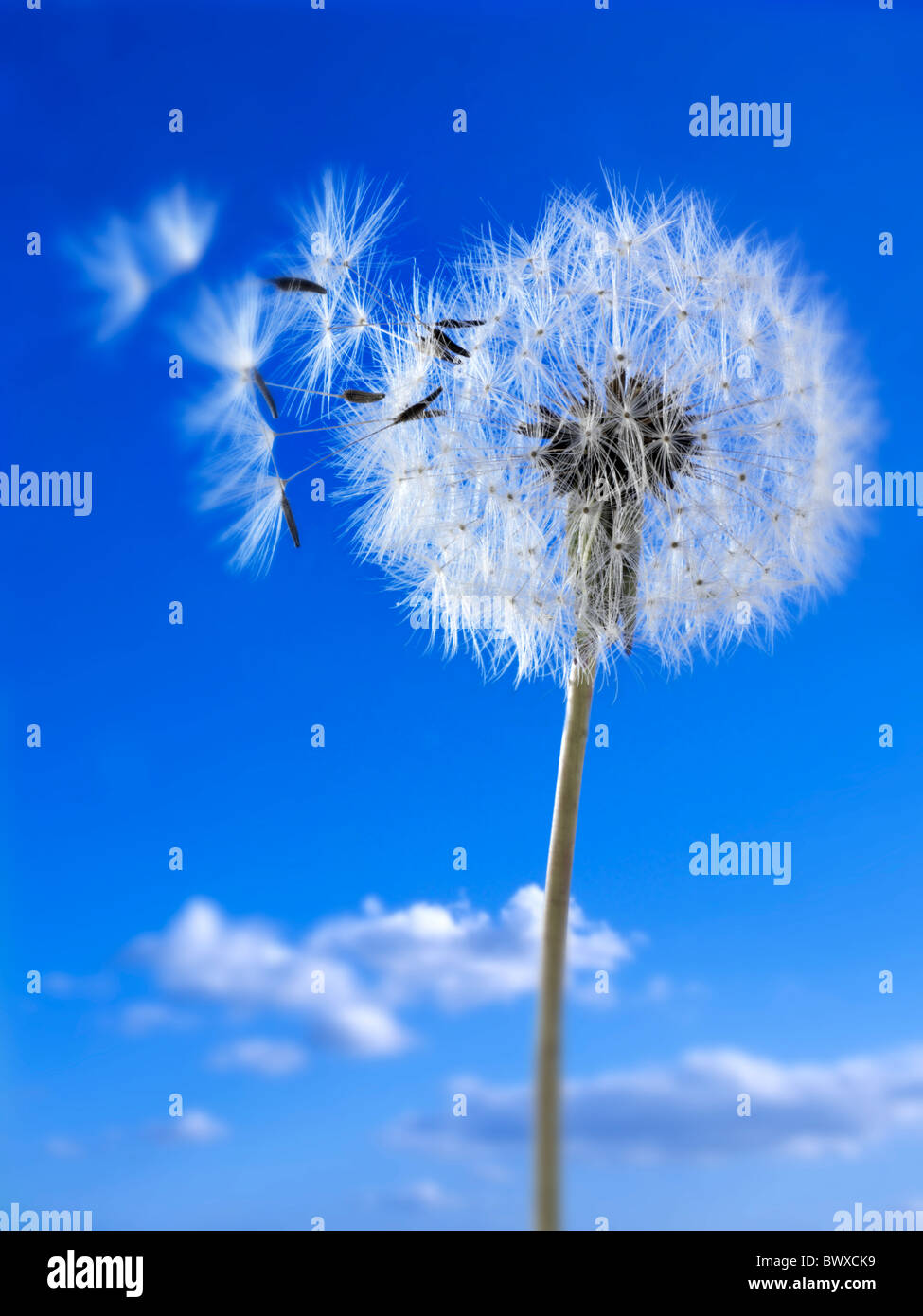 Dandelion clock seed head - Stock Image