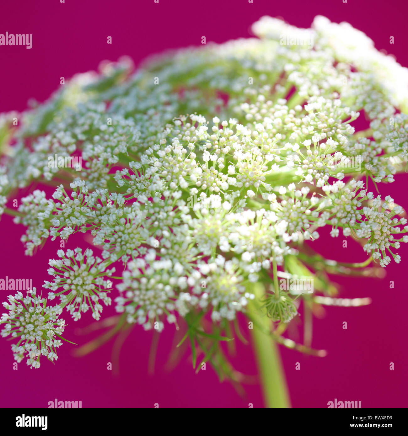 gorgeous ammi on cerise Jane-Ann Butler Photography JABP892 - Stock Image
