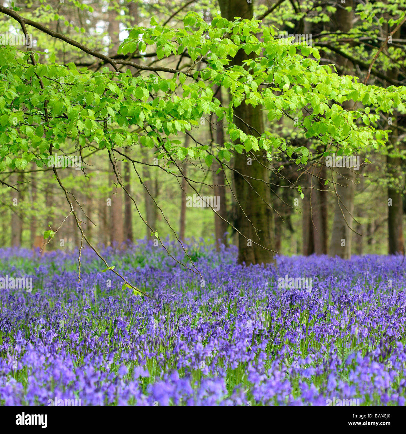 harmonious bluebell wood Jane-Ann Butler Photography JABP885 - Stock Image