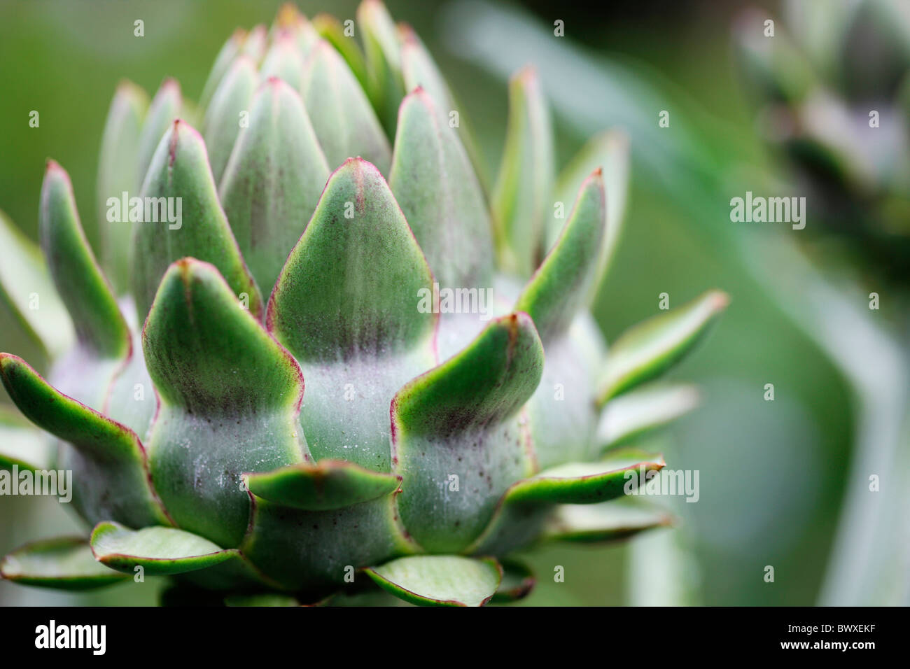 sturdy globe artichoke plant growing in the garden Jane-Ann Butler Photography JABP886 - Stock Image