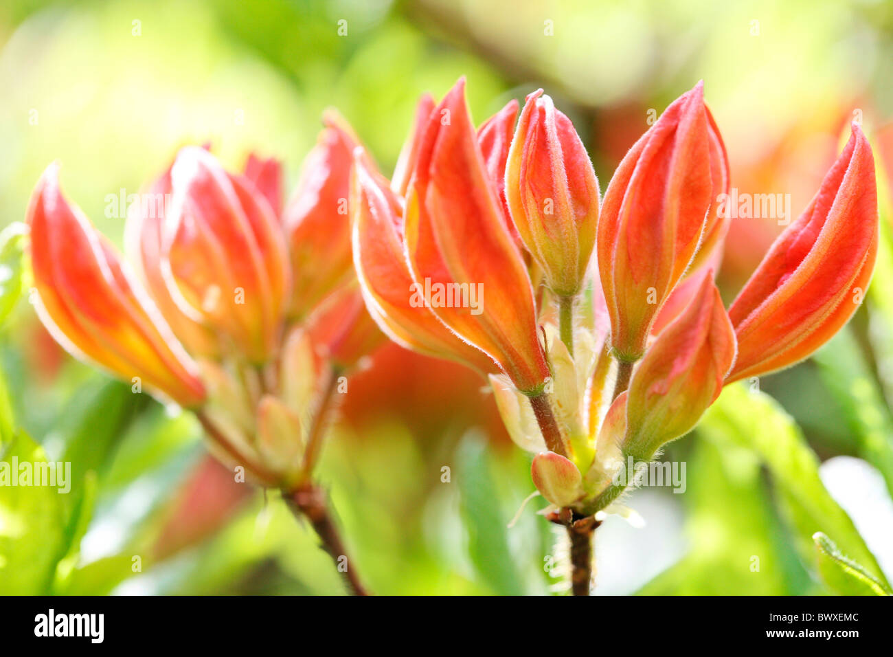 lovely orange azalea buds, harmony in nature  Jane-Ann Butler Photography JABP883 Stock Photo