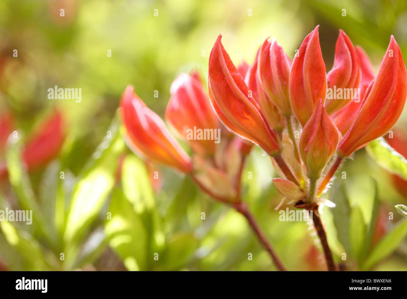 lovely orange azalea buds, harmony in nature Jane-Ann Butler Photography JABP882 - Stock Image