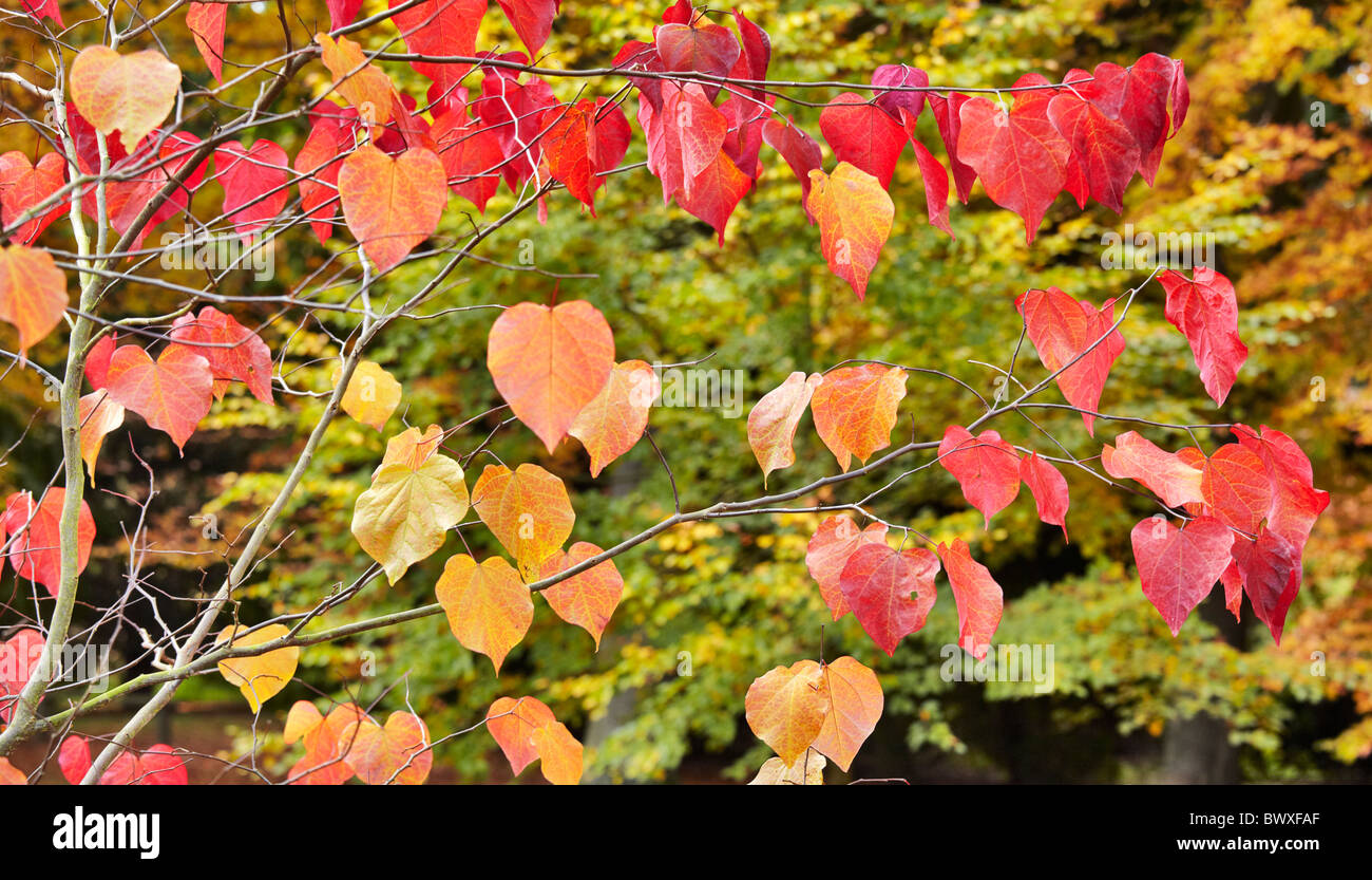 Autumn Leaves Of Cercis Canadensis Common Name Forest