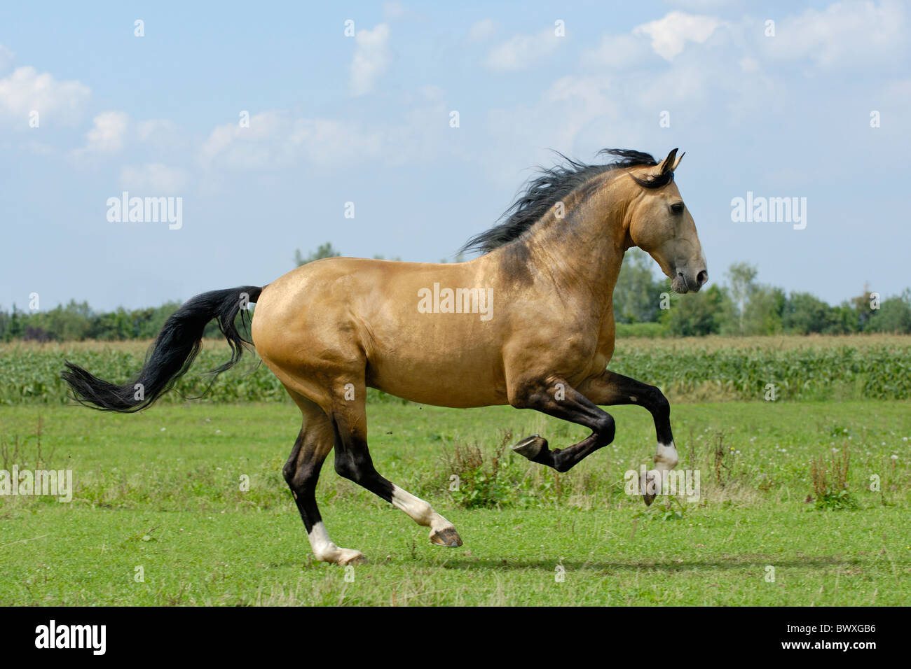Lusitano horse stallion galloping in the field - Stock Image
