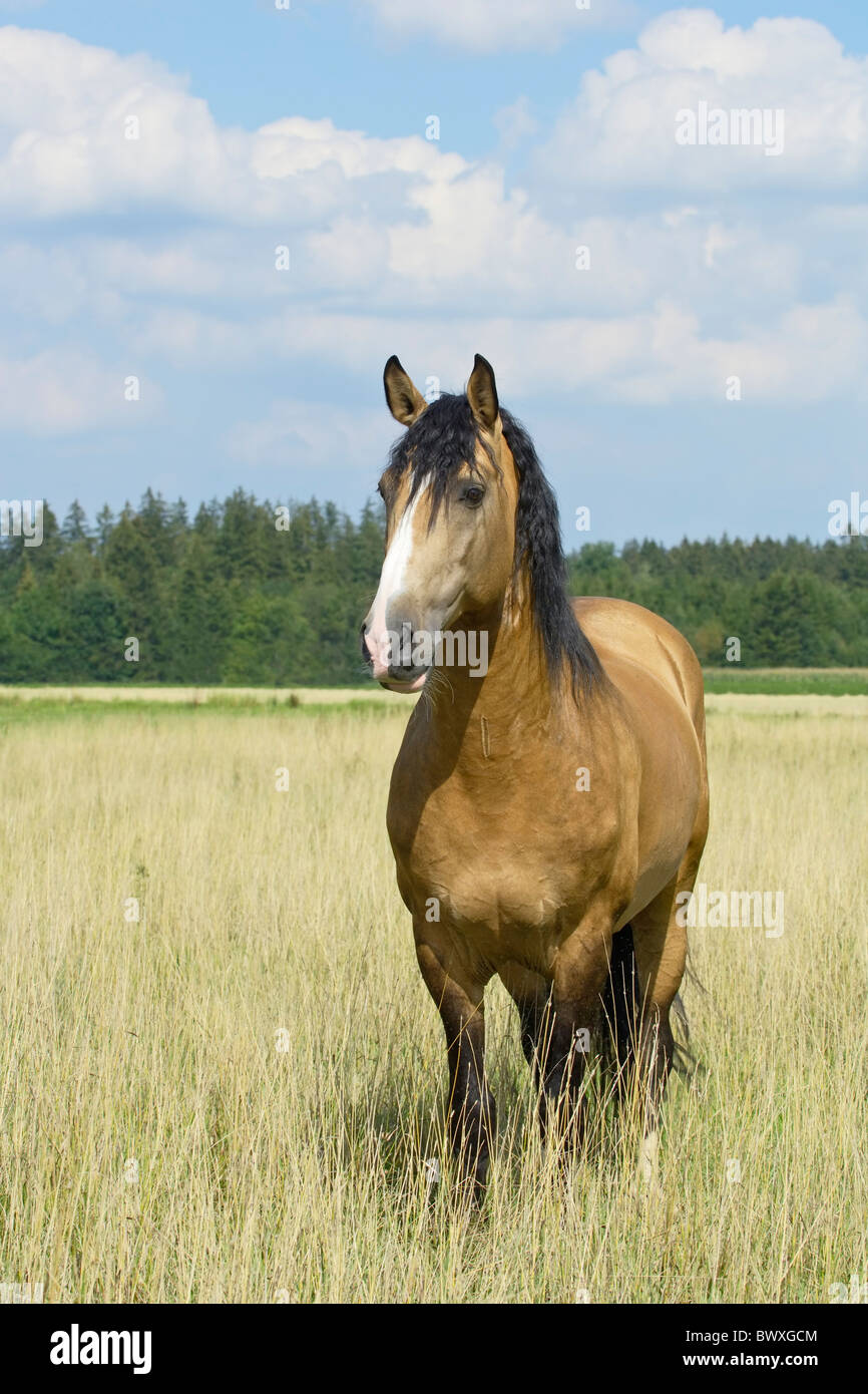 Lusitano horse stallion standing in the field - Stock Image