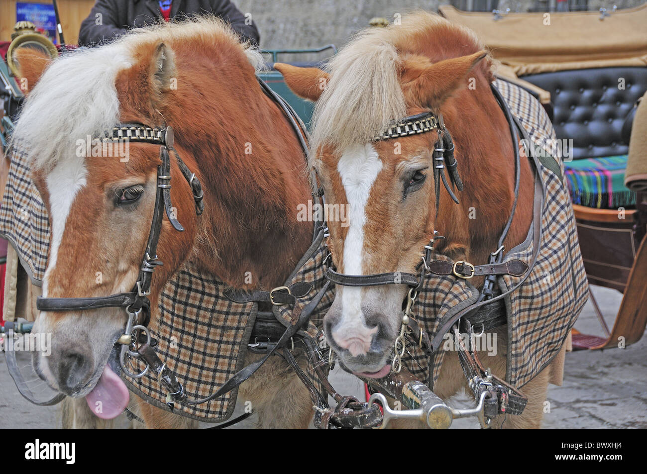 Carriage Horses With Rugs On Awaiting Tourists In Winter In The Old