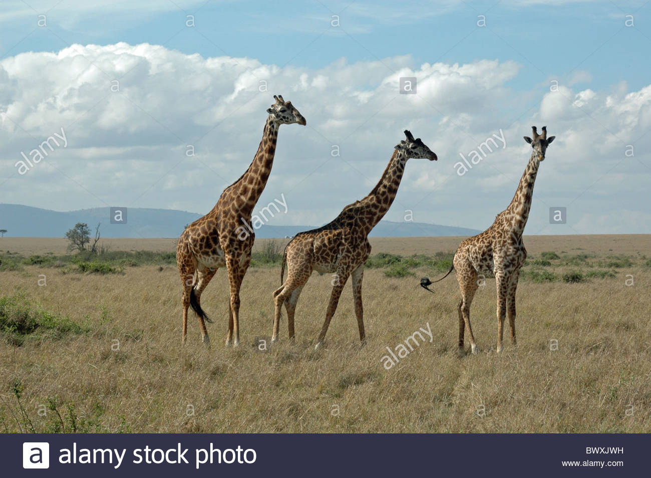 Super models of the serengetti, Maasi Giraffes (Giraffa Camelopardalis) - Stock Image