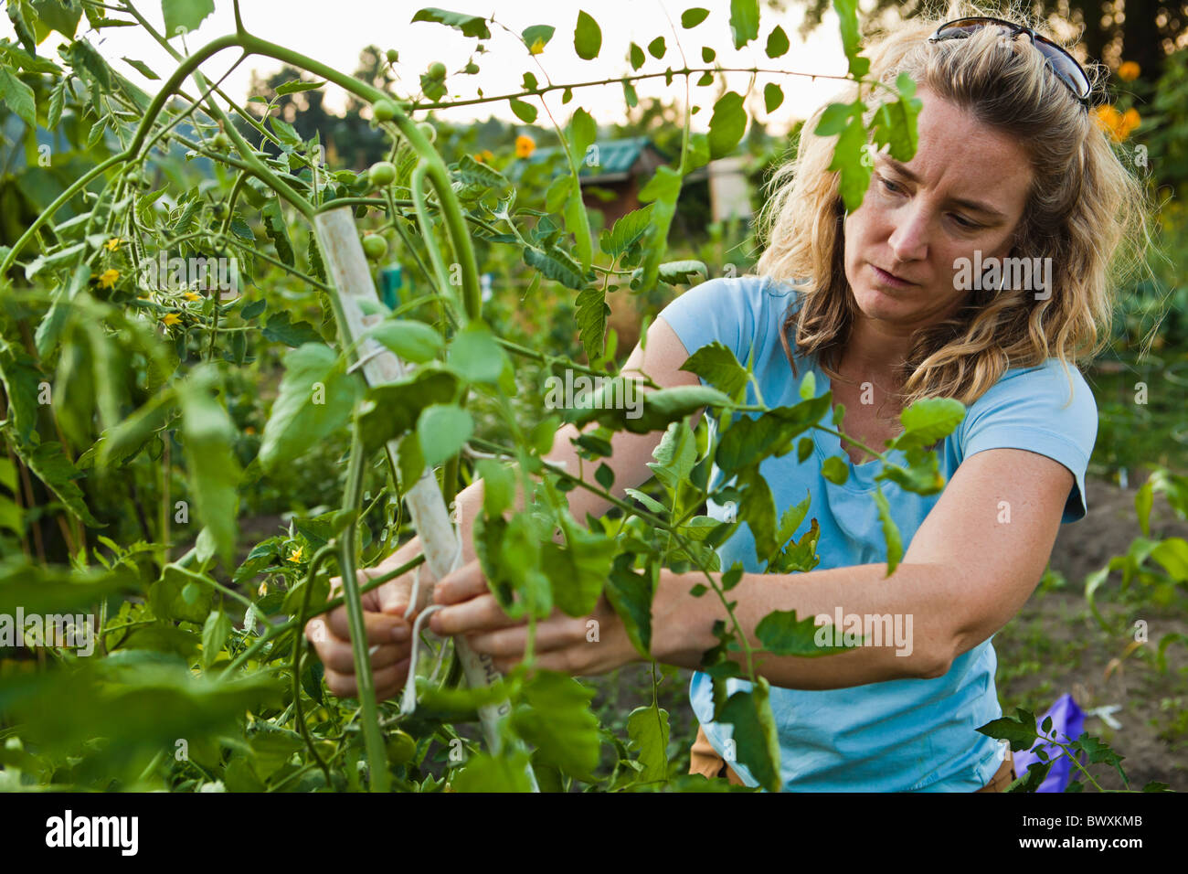 A woman working in her vegetable garden. - Stock Image