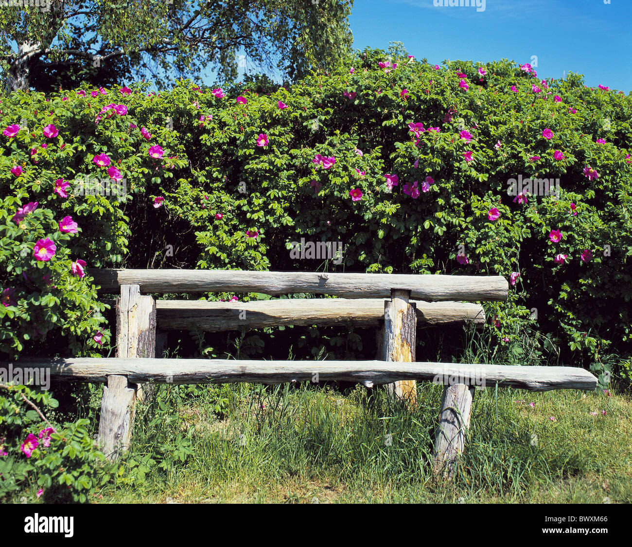 Prime Garden Bush Roses Rose Bush Fragrant Wooden Bank Primitive Gmtry Best Dining Table And Chair Ideas Images Gmtryco