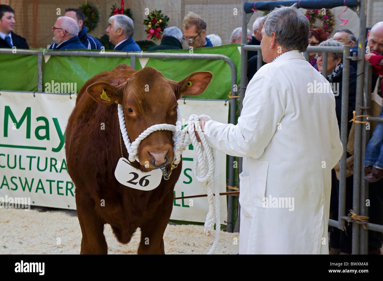 a cow in the show ring at a country fair in cornwall, uk - Stock Image
