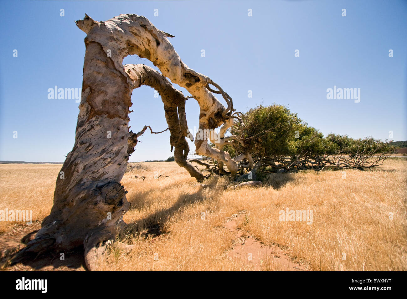 Horizontal wind blown tree on the Greenough flats near Geraldton in Western Austraila - Stock Image
